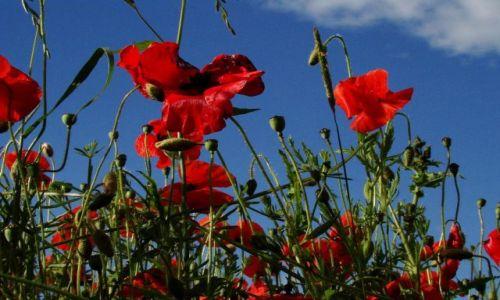Zdjecie WIELKA BRYTANIA / South Yorkshire / okolice Doncaster / powalajacy zapach makow