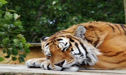 Zdjecie WIELKA BRYTANIA / North Yorkshire / Flaming Park / pora spania  tygrysow !!!