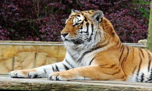 Zdjecie WIELKA BRYTANIA / North Yorkshire / Flaming Park / mosci  pan ---  tygrys syberyjski