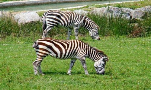 Zdjecie WIELKA BRYTANIA / North  East  England / Flaming Park / zebry