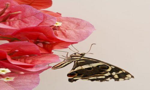 Zdjecie WIELKA BRYTANIA / The Natural History Museum / Londyn / Motyl 2