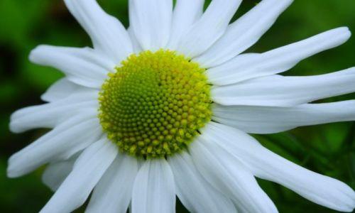 Zdjecie WIELKA BRYTANIA / West sussex / łączka / Flower 3