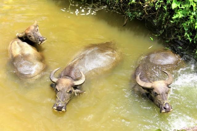 Zdjęcia: Sa Pa, Lao Cai, Bawoły wodne w kąpieli, WIETNAM