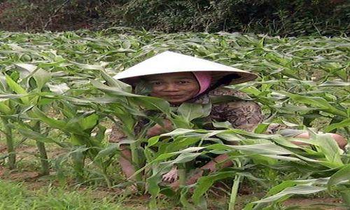 Zdjęcie WIETNAM / Srodkowy Wietnam / Hoi An / Kobieta na roli