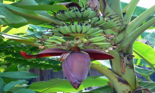 WIETNAM / - / gdzieś na wsi wietnamskiej / Kwiat bananowca.