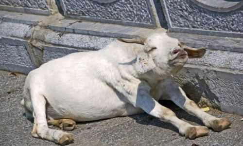 WIETNAM / Ninh Binh / Okolice Ninh Binh / Całuśna koza :)