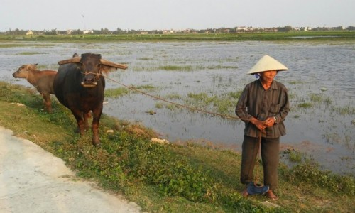 WIETNAM / Środkowy Wietnam / Hoi An / Pan z bawołem