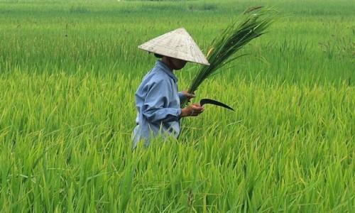 Zdjecie WIETNAM / - / Wietnam / Na polu ryżowym