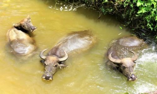 WIETNAM / Lao Cai / Sa Pa / Bawoły wodne w kąpieli