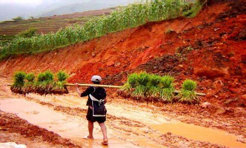 Zdjecie WIETNAM / północ Wietnamu / góry w okolicy Sapa / transport sadzonek ryżu