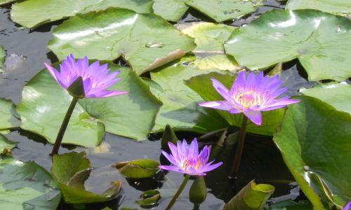 Zdjęcie WIETNAM / wietnam srodkowy / wietnam / kwiat