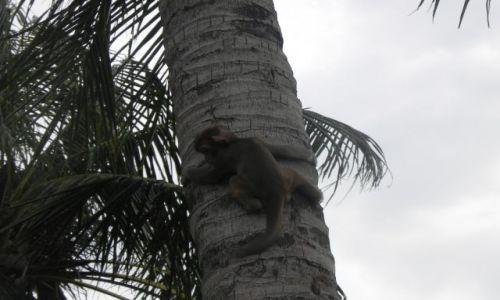 Zdjęcie WIETNAM / srodkowy wietnam / ... / malpka na palmie
