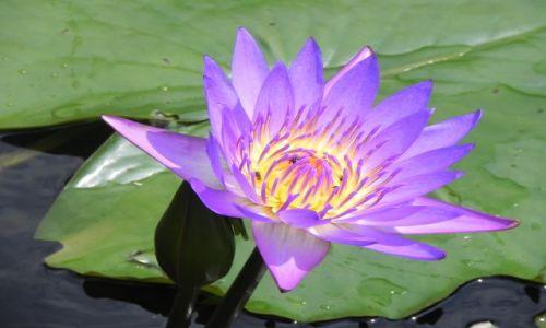 Zdjecie WIETNAM / wietnam srodkowy / na jednej z wysp w wietnamie / konkurs kwiat lotosu