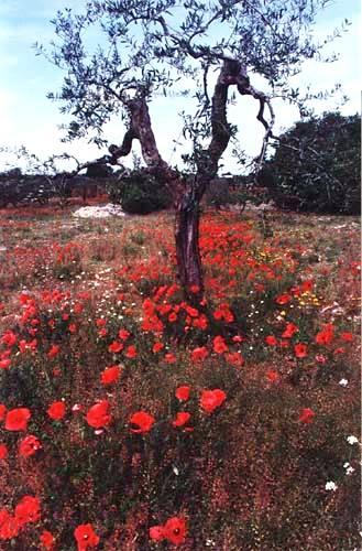Zdj�cia: Alberobello, Apulia, Drzewo oliwne, W�OCHY