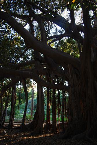 Zdjęcia: PALERMO, SYCYLIA, AMAZING TREE... nr 1, WłOCHY
