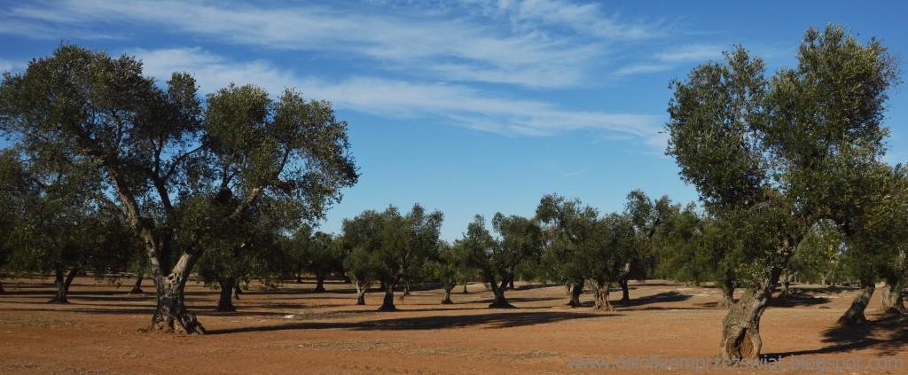 Zdjęcia: Apulia, Apulia, oliweczki, WłOCHY