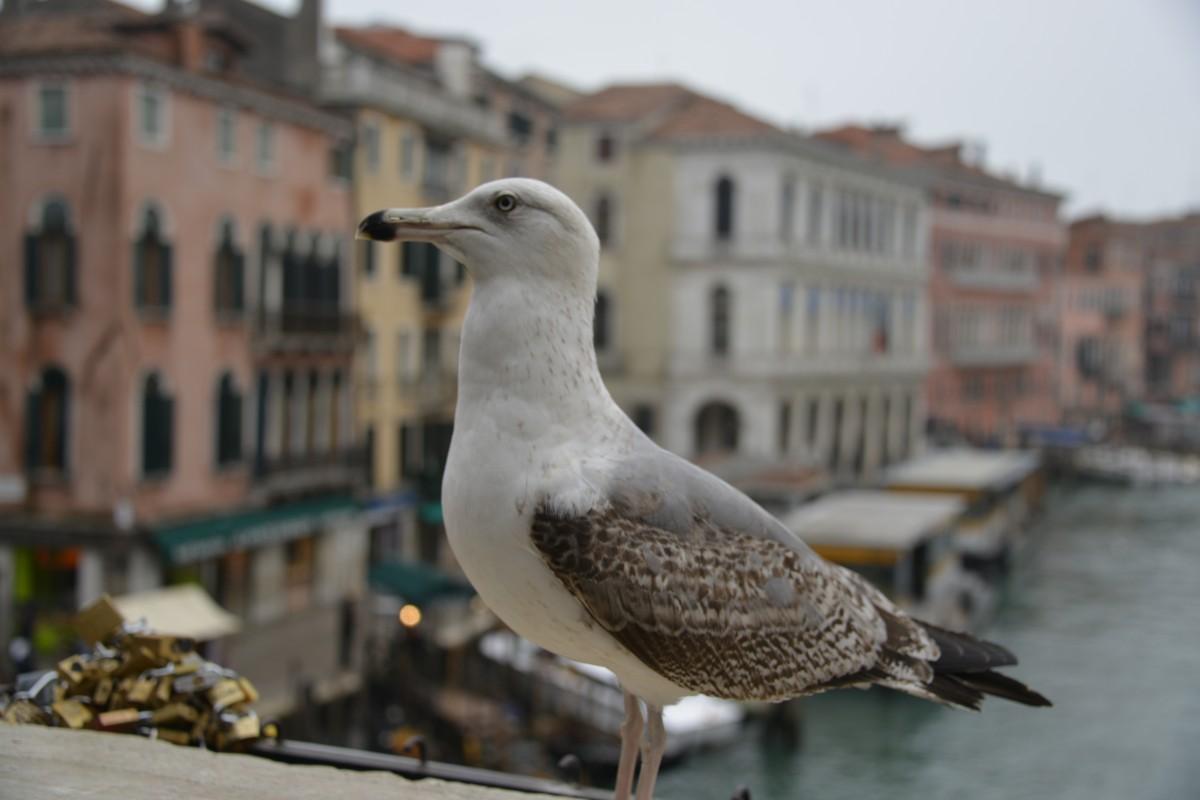 Zdjęcia: Wenecja, xxx, Mewa na moście weneckim, WłOCHY