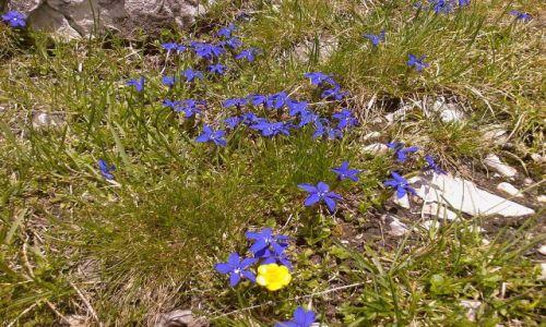 Zdjecie WłOCHY / Trydent / Okolice Ortlera / Alpejskie kwiat