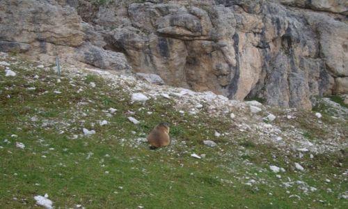 Zdjęcie WłOCHY / Cortina / Dolomity / A świstak siedzi...