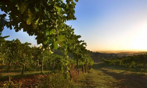 Zdjecie WłOCHY / Toskania / San Gimignano / Winnica