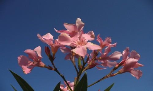 Zdjecie WłOCHY / Nad jeziorem  / Garda / Kwiaty oleandera, nad Jeziorem Garda