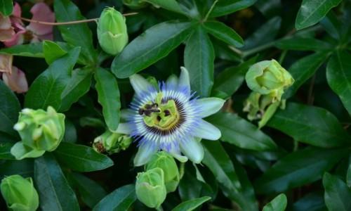 Zdjecie W�OCHY / Lazio / Acquapendente / Passiflora (m�c