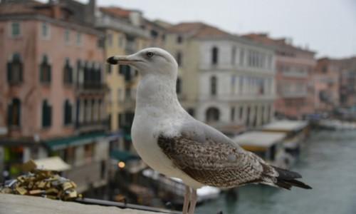 Zdjęcie WłOCHY / xxx / Wenecja / Mewa na moście weneckim