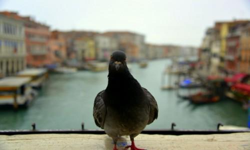 Zdjęcie WłOCHY / xxx / Wenecja / Zdziwiony gołąbek
