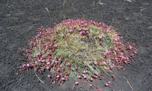 Zdjecie WłOCHY / Sycylia / w drodze na Etnę / wulkaniczne kwiatki