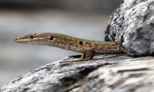 Zdjęcie WłOCHY / puglia / Alberobello / lizard