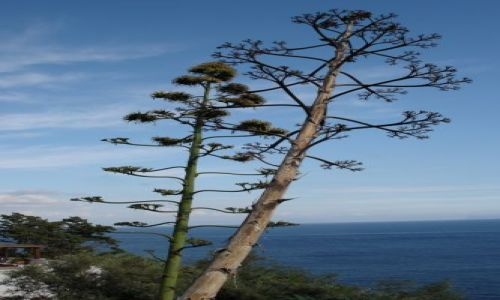Zdjecie WłOCHY / brak / isola di procida / kwitnące agawy