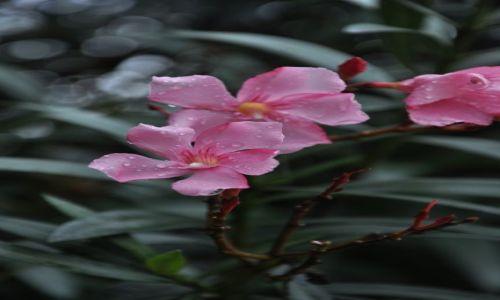 Zdjecie WłOCHY / Kampania / Paestum / Oleander w deszczu.