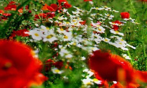 Zdjecie WłOCHY / Monte Cassino / na wzgórzu / Polskie kwiaty...pod Monte Cassino....