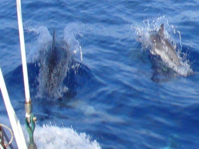 Zdjęcia: między Karaibami a Azorami, Atlantyk, Delfiny przy burcie, WYSPY KARAIBSKIE