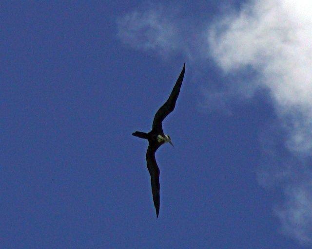 Zdjęcia: Martynika, Morze Karaibskie, Fregata, WYSPY KARAIBSKIE