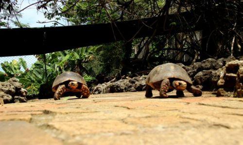 Zdjęcie WYSPY KARAIBSKIE / - / Barbados / Jak mustangi...