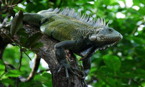 Zdjecie WYSPY KARAIBSKIE / Wyspa Curacao / Aeropuerto Hato / Iguana-legwan zielony