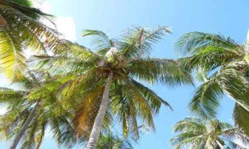 Zdjęcie WYSPY KARAIBSKIE / - / Guadelupe / leniuchowanie pod palmami kokosowymi