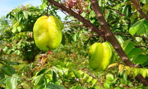 Zdjęcie WYSPY SALOMONA / Pacyfik, Oceania / Guadalcanal, Aruliho / Żyjący supermarket - na Salomonach jest mnóstwo owoców.  Tu tzw. \\