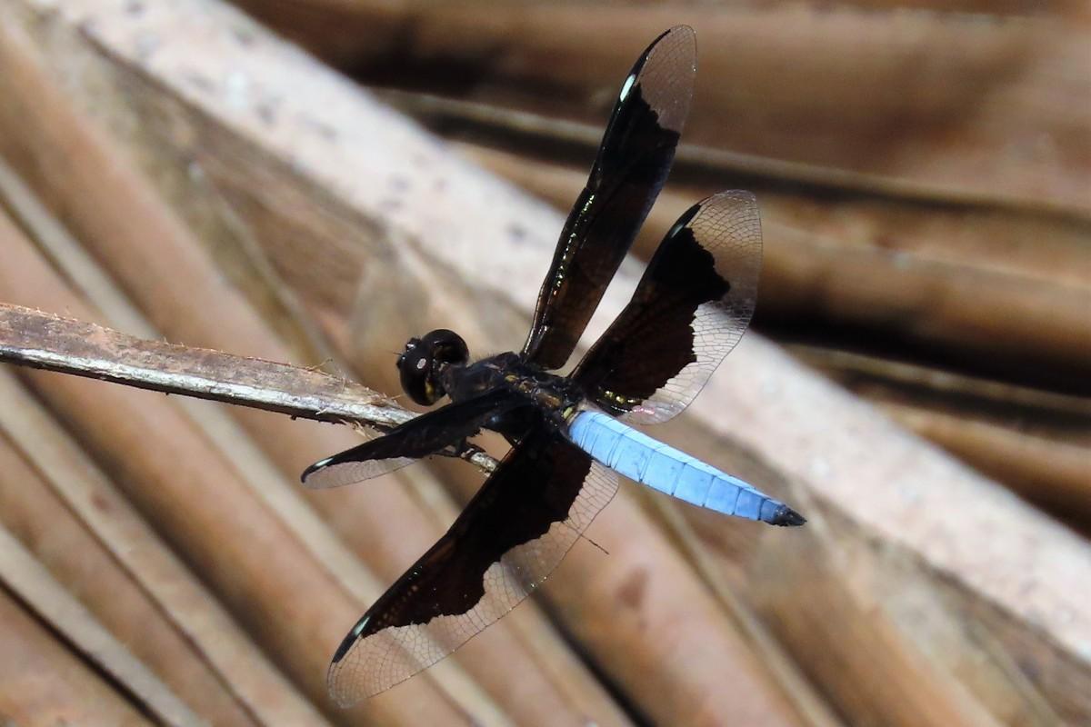 Zdjęcia: Lagoa Azul, Sao Tome, Ważka, WYSPY ŚWIĘTEGO TOMASZA i KSIĄŻĘCA