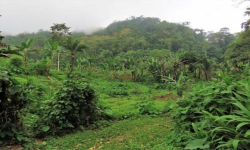 WYSPY ŚWIĘTEGO TOMASZA i KSIĄŻĘCA / Sao Tome / Monte Cafe / Plantacja pośród lasu deszczowego