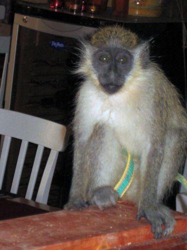 Zdjęcia: Santa Maria, Sali, Małpka, Wyspy Zielonego Przylądka