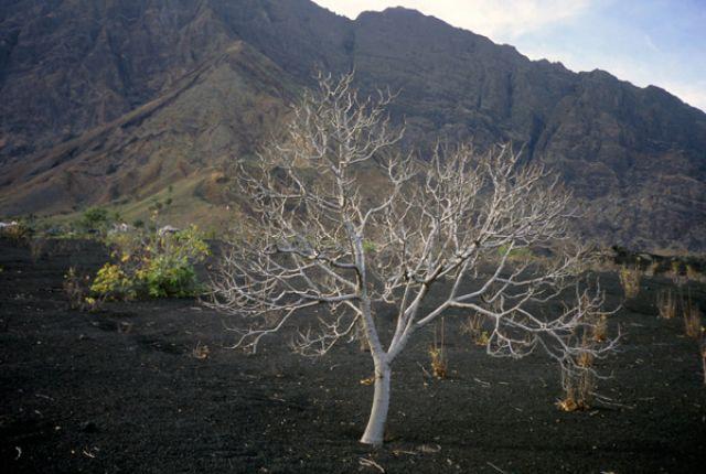 Zdjęcia: Portella, Fogo, tajemnicze drzewo, Wyspy Zielonego Przylądka