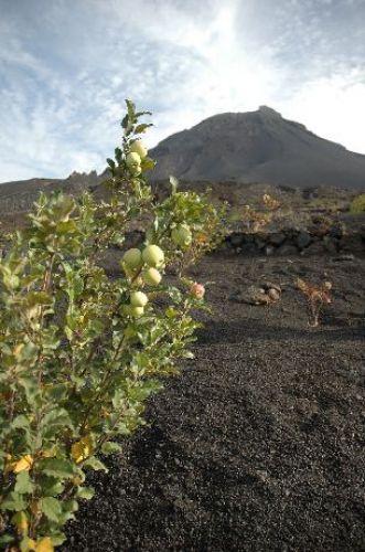 Zdjęcia: Fogo, sad, Wyspy Zielonego Przylądka