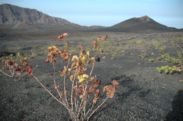 Zdjęcia: Fogo, winnice na Fogo, Wyspy Zielonego Przylądka
