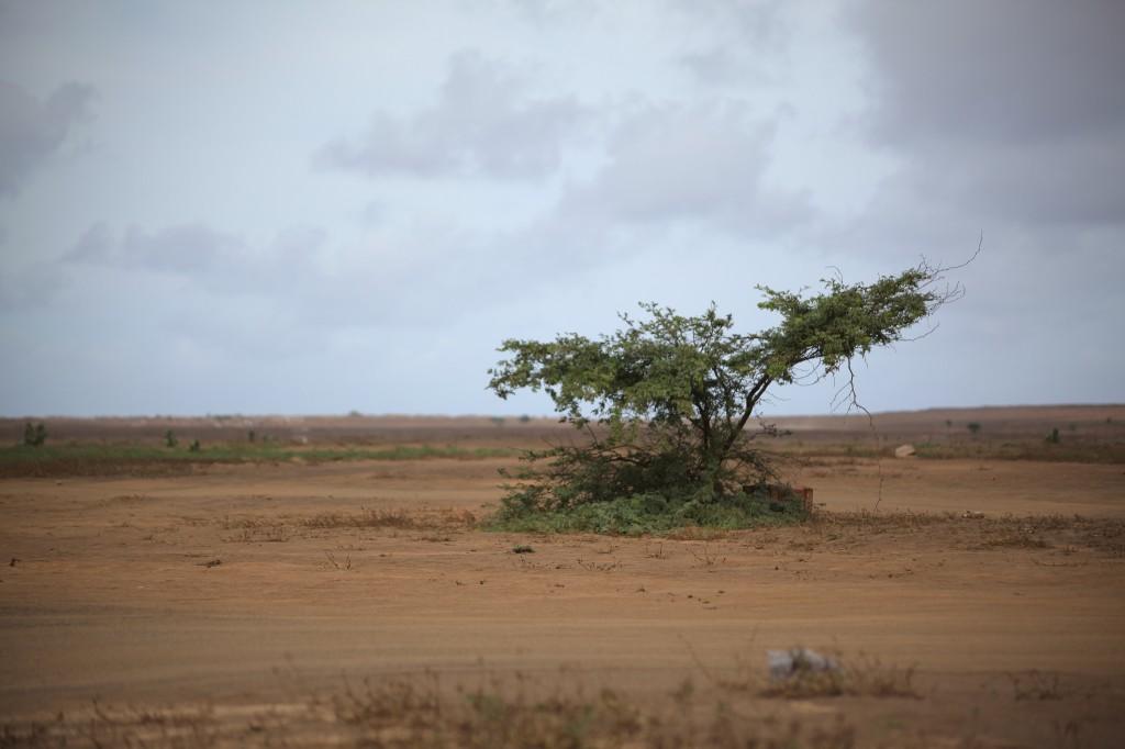 Zdjęcia: Palmeira, Wyspa Sal, Samotne drzewo, WYSPY ZIELONEGO PRZYLĄDKA