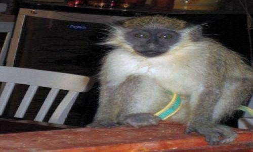Zdjecie Wyspy Zielonego Przylądka / Sali / Santa Maria / Małpka