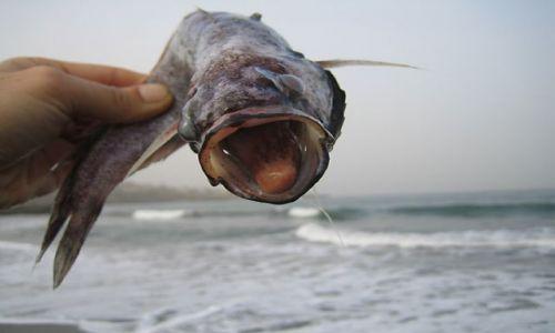 Wyspy Zielonego Przylądka / Calheta / Calheta / ryba z dużym jęzorkiem