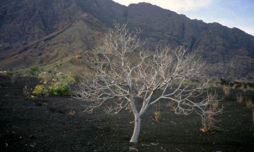 Wyspy Zielonego Przylądka / Fogo / Portella / tajemnicze drzewo