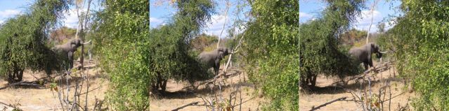 Zdjęcia: busz afrykański, Tryptyk, ZAMBIA